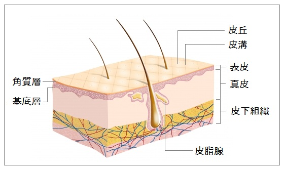 「真皮 表皮 皮下組織」の画像検索結果